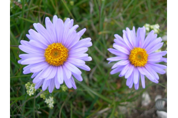 Asters M Béal